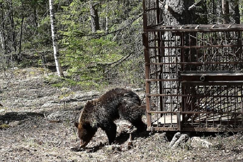 Найденного зимой медвежонка выпустили влес