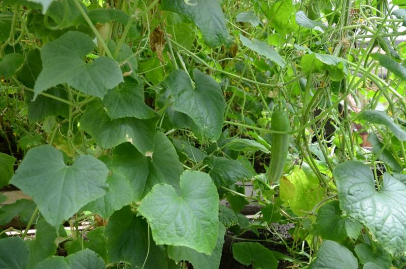 Кировские осужденные с помощью научных достижений выращивают арбузы и виноград