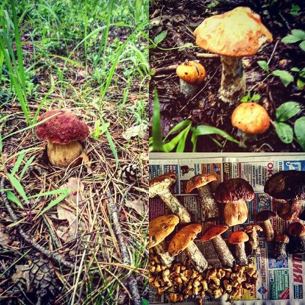 Кировчане говорят об обилии грибов в лесу (+ФОТО)