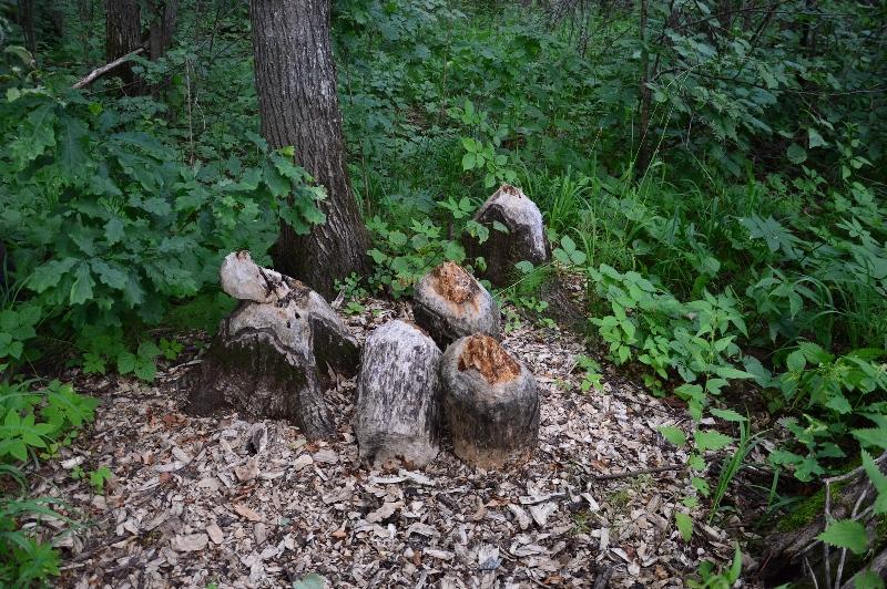 В нургушском заповеднике бобры унесли несколько дубов