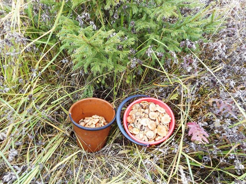 Кировчане жалуются на отсутствие рыжиков в лесах