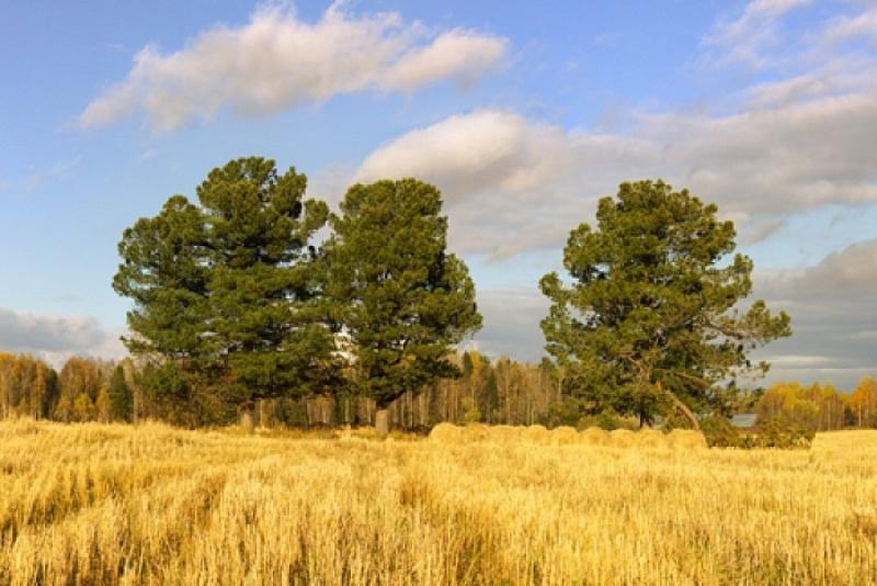 Снимок «Три кедра у бывшей д. Грабли» - в числе лучших