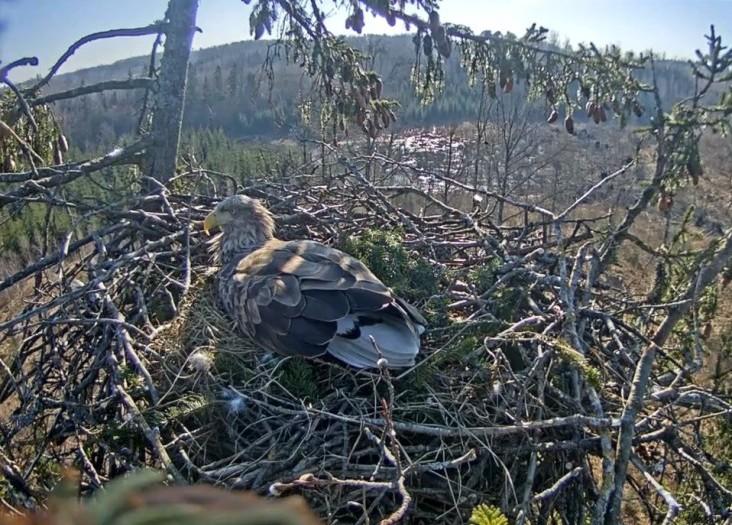 В кировском заповеднике альпинист построил гнездо для орлана-белохвоста
