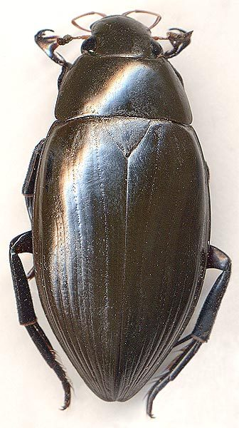 В «Нургуше» нашли уникального для Кировской области жука