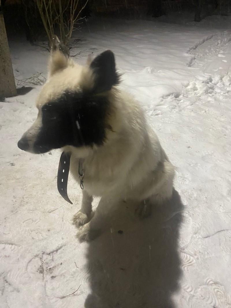 В Кирове найдена собака необычного окраса