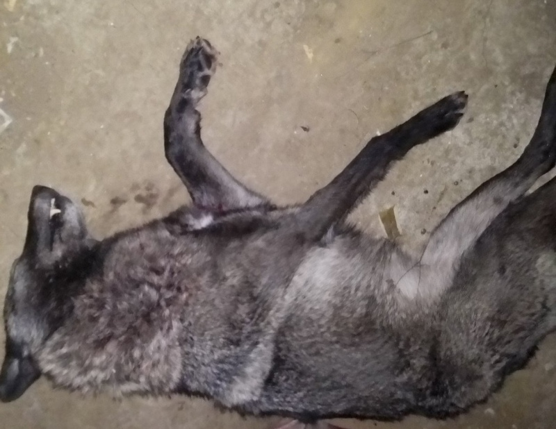 На юге Кировской области добыли черную волчицу
