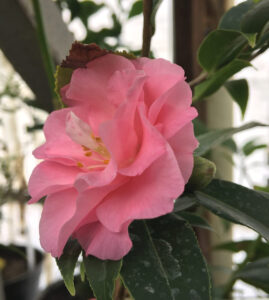 В ботаническом саду расцвел экзотический цветок