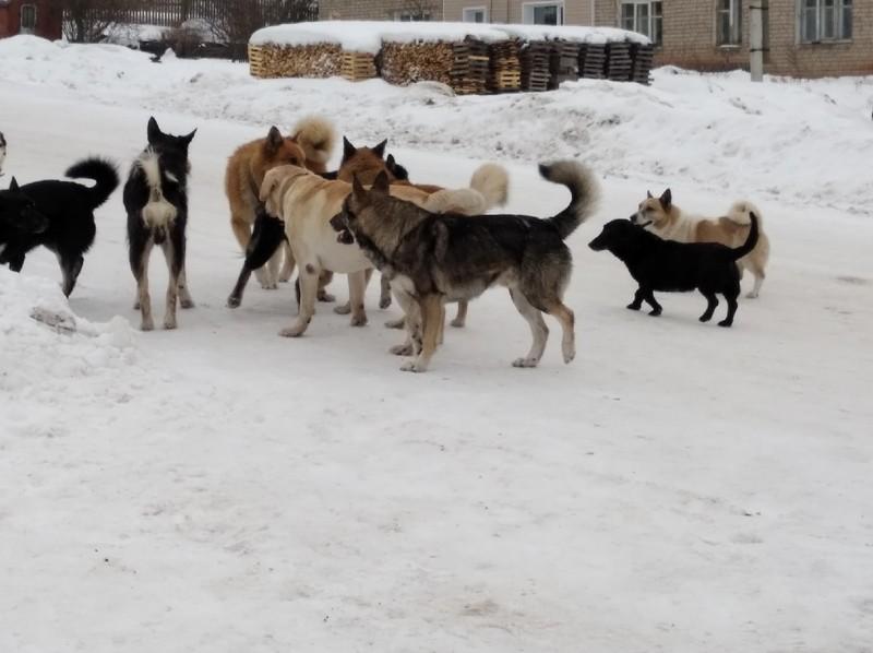 Стая собак терроризирует жителей поселка в Кировской области