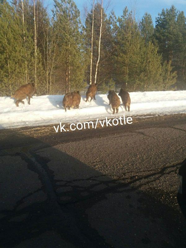 На трассу в Кировской области вышло стадо кабанов