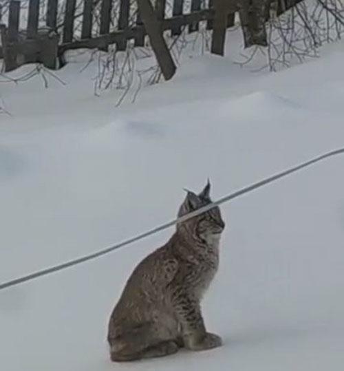 В Кировской области рыси не перестают выходить к людям