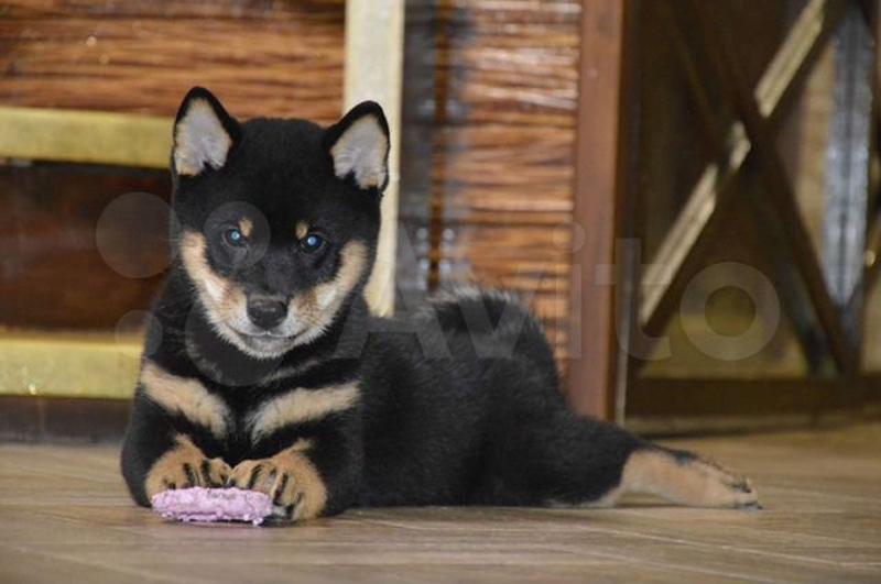 В Кирове продают японских щенков по цене 2,5 месячных зарплат