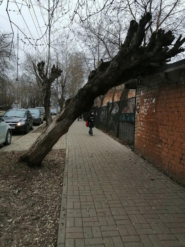 В Кирове около школы упало дерево