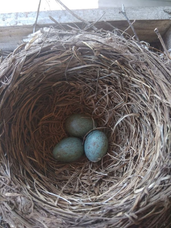 В кировском детсаду дрозды свили гнезда на верандах