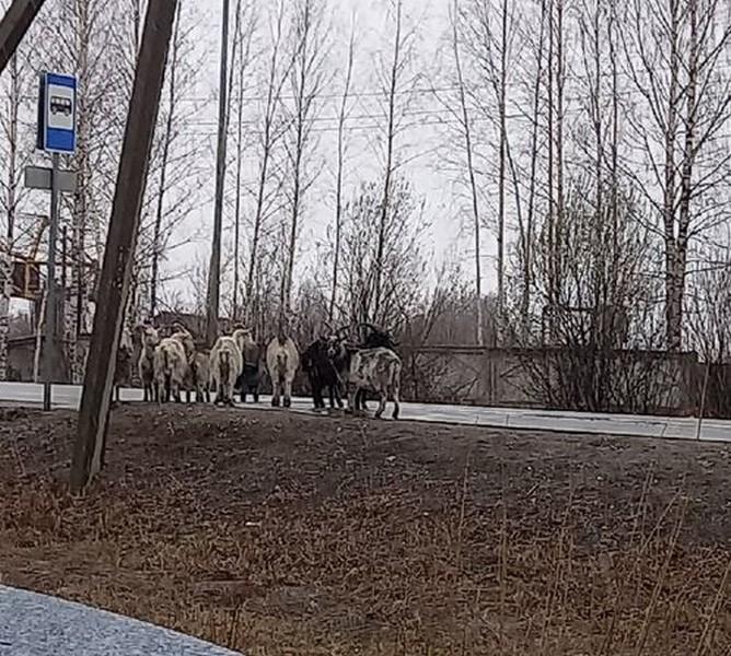 Жители Котельнича жалеют коз-путешественниц