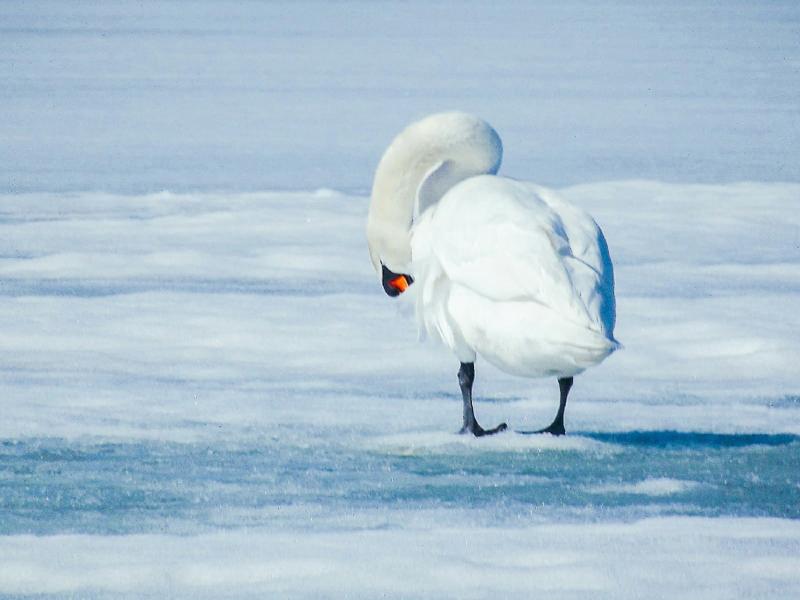 В Кировскую область прилетели первые лебеди