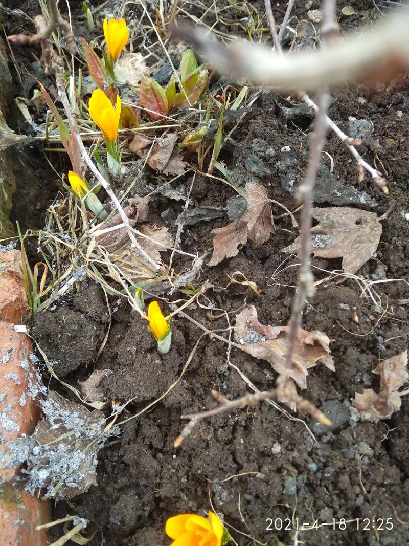 Жители Кировской области поделились снимками первоцветов