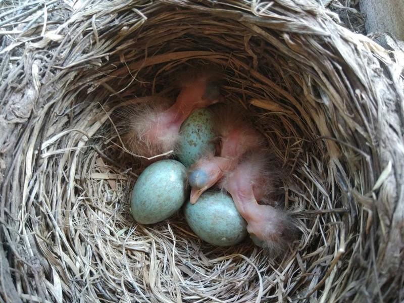 У дроздов в кировском детсаду вылупились птенцы