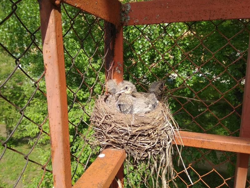 В Кирово-Чепецке птицы свили гнездо прямо у детского сада