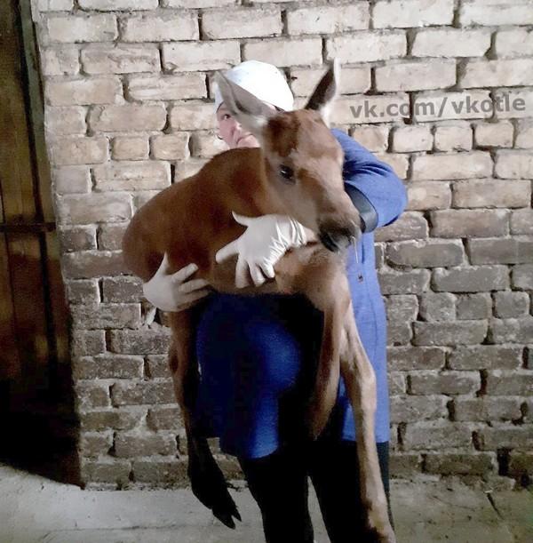 В Кировской области сотрудники фермы приютили лосёнка