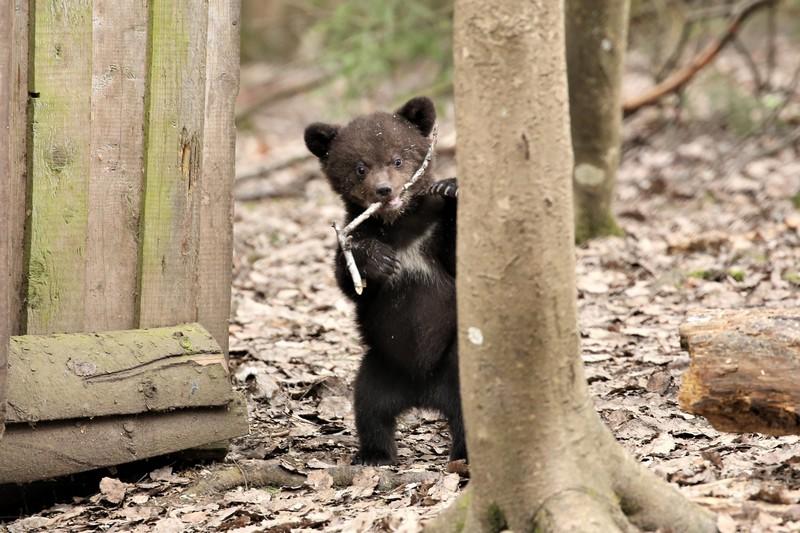 Стала известна судьба медвежат, спасённых в Кировской области весной