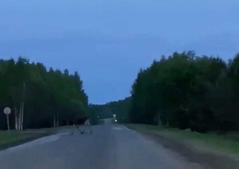Кировчане встретились с лосиной семьёй