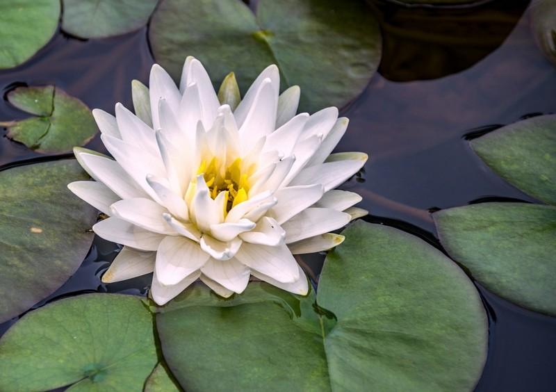 В кировском ботсаду зацвели водяные лилии