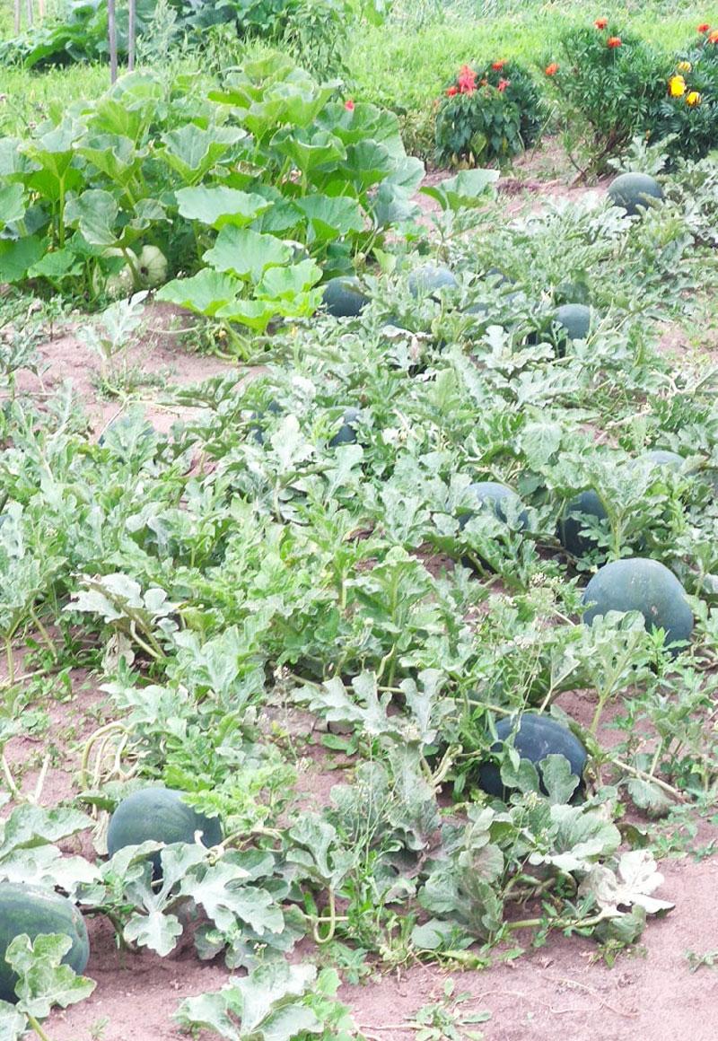 Кировчанка вырастила огромные арбузы в своем саду