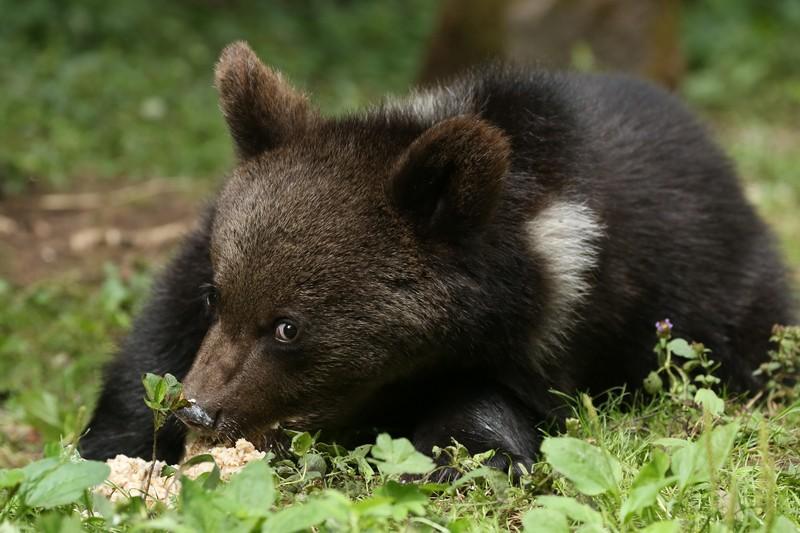 Найденных в Кировской области медвежат выпустят в лес