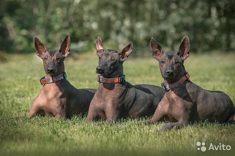 В Кирове продают собак древнейшей породы