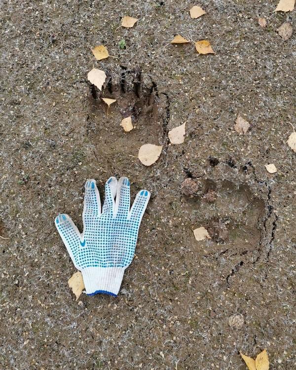 В Кумёнском районе местные жители наткнулись на свежие медвежьи следы